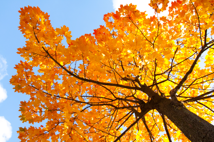 What Kinds Of Maple Trees Can Be Tapped Blains Farm Fleet Blog
