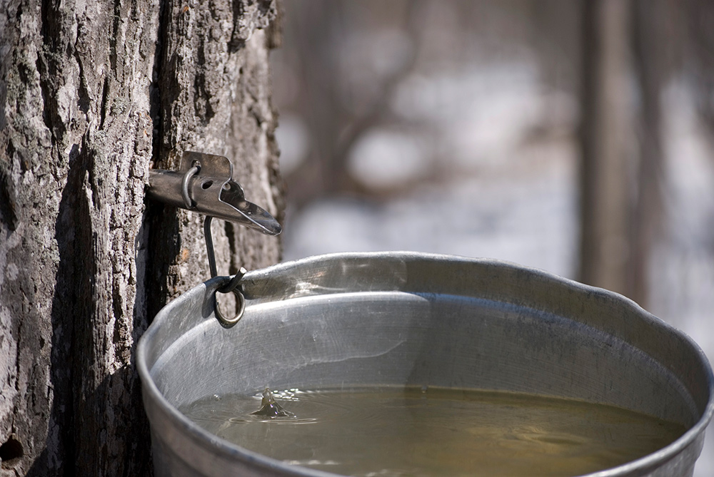 9d80c9f1849 How to Tap Maple Trees You can make homemade maple syrup ...