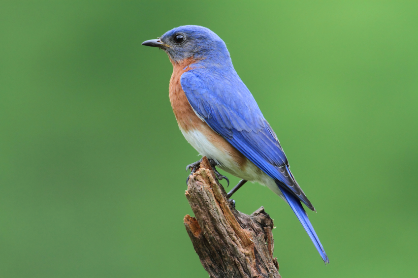 Bluebirds Nesting In Your Yard