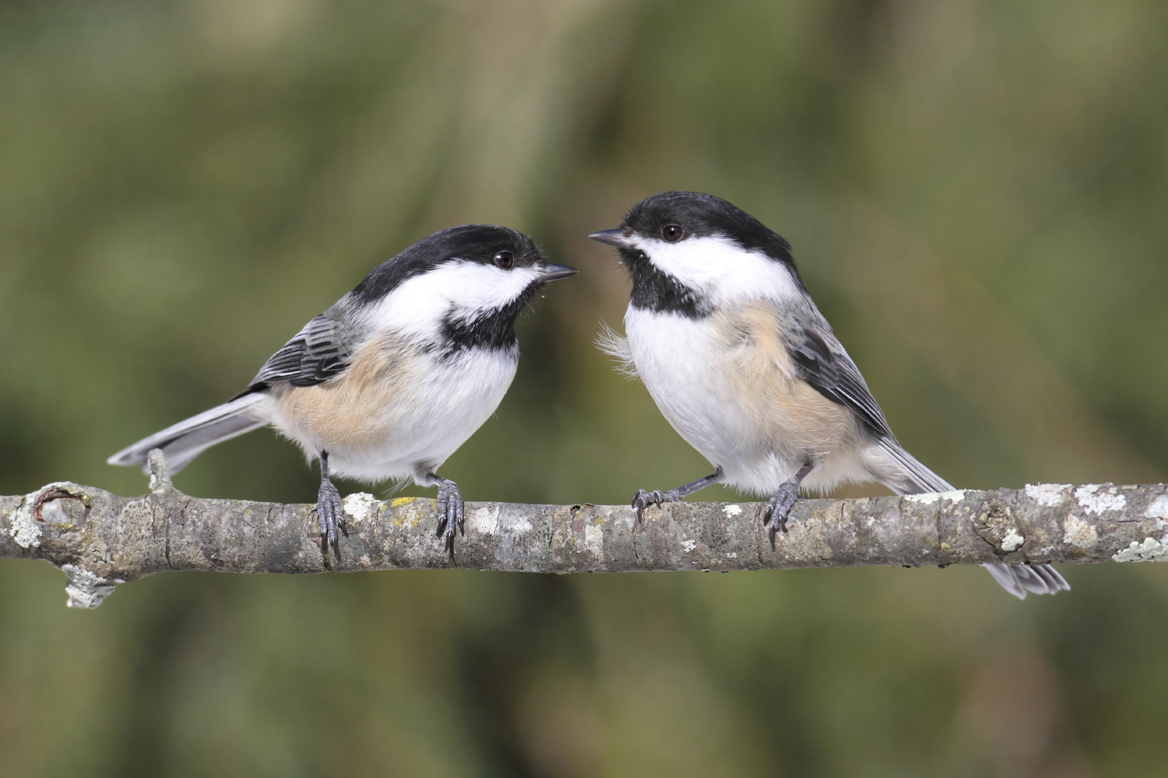 Attracting Chickadees Blain S Farm Amp Fleet Blog