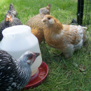 The Importance of Water For Your Flock