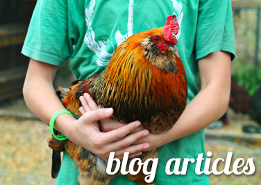 Raising Backyard Chickens Articles