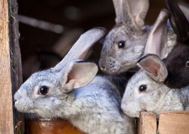Housing Rabbits in a Rabbit Hutch