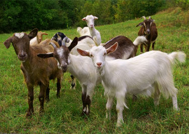 Beginner's Guide to Goat Farming